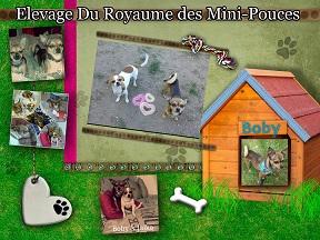 Elevage du Royaume des Mini-Pouce ( Elevage Chihuahua )